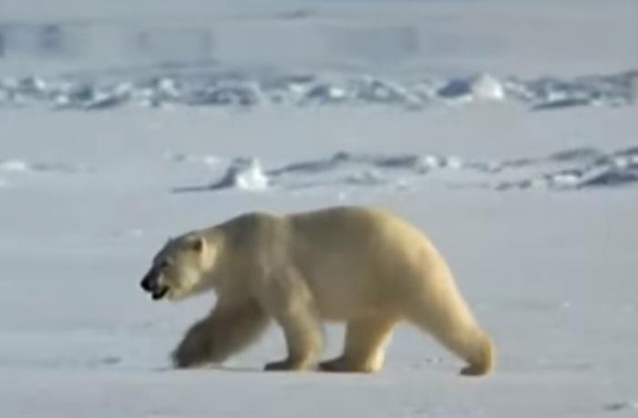 Nowaja Semlja: Bäreninvasion soll mit friedlichen Mitteln gestoppt werden